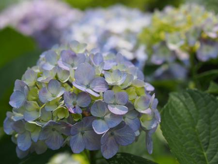 浜離宮の紫陽花