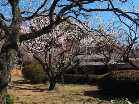 茶室と梅林の梅