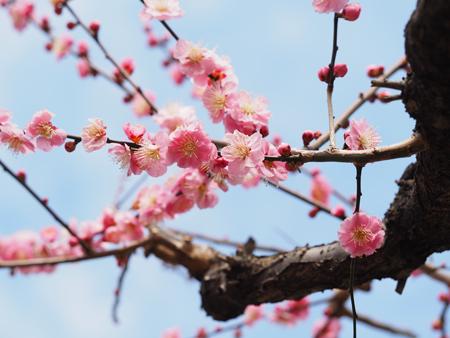 小石川植物園 梅林の梅