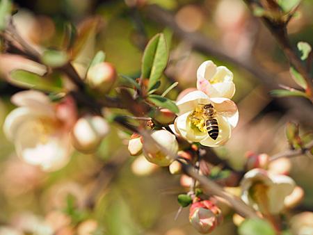 木瓜の花とミツバチ