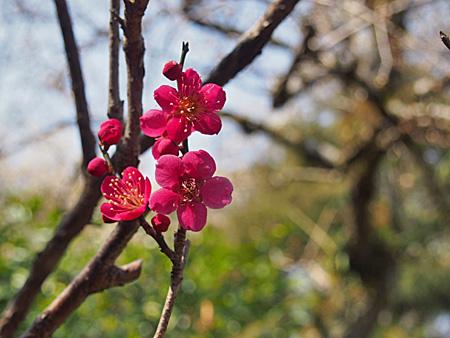 百草園 梅