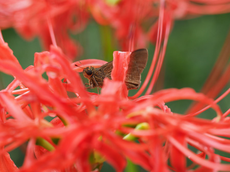 彼岸花の蜜を吸うイチモンジセセリ