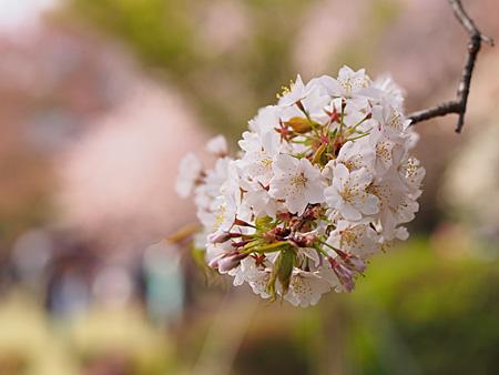 プラタナス並木付近の霞桜(カスミザクラ)
