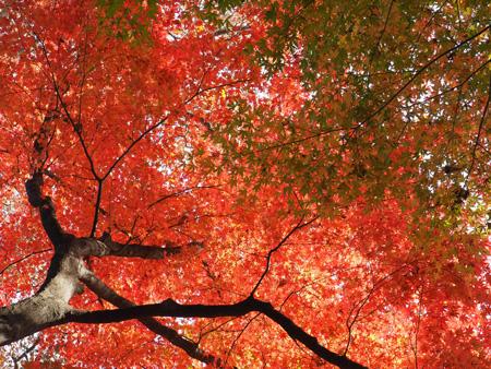 すっかり紅くなった木。