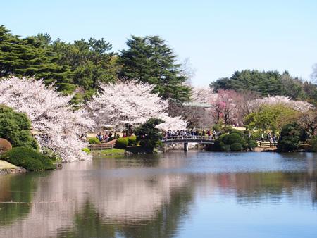 中の池の桜