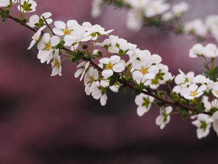 ユキヤナギと陽光桜