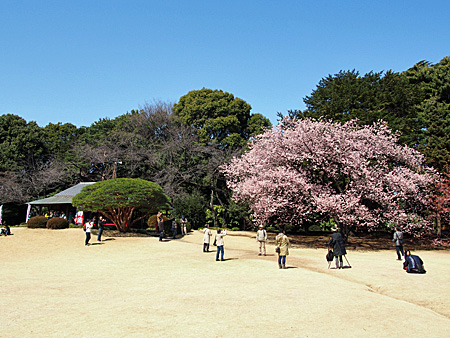 日本庭園のカンザクラ