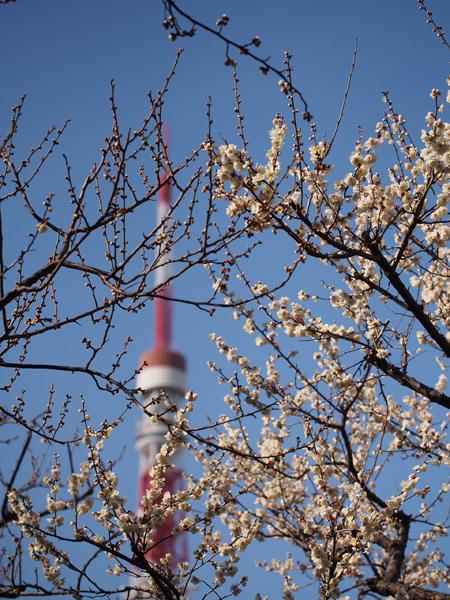 梅とタワー