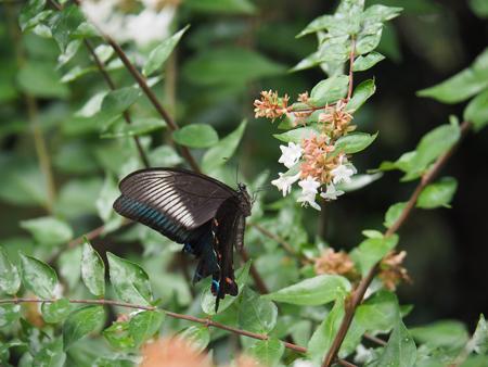 アベリアの蜜を吸うカラスアゲハ