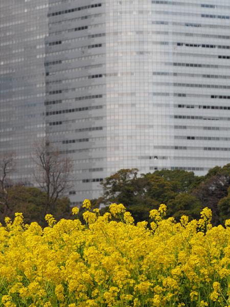菜の花と電通本社ビル