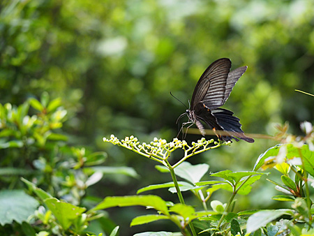 ヤブカラシの蜜を吸うクロアゲハ