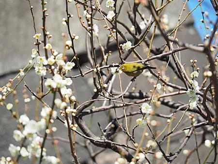 梅林坂の梅とメジロ