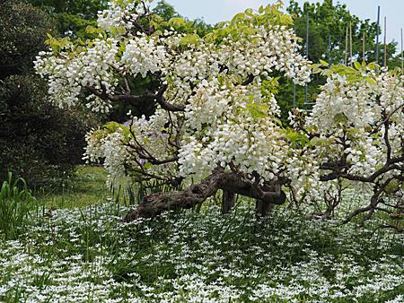 小石川植物園のフジ