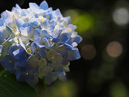新宿御苑の紫陽花