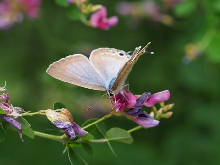 翅を開くウラナミシジミ