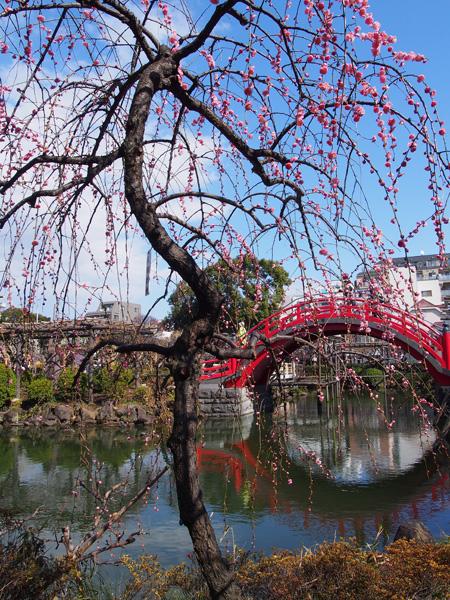 梅と太鼓橋2