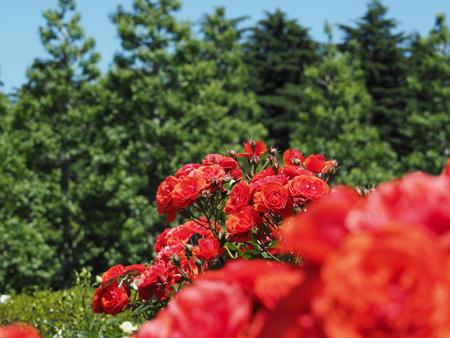 西洋庭園の薔薇