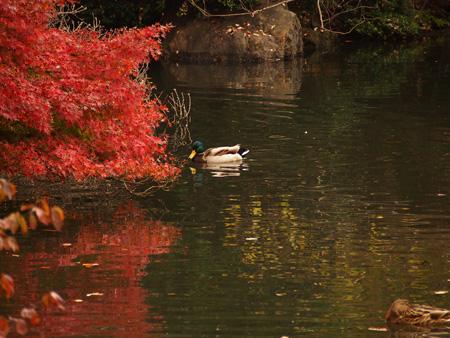 中の池のカモ