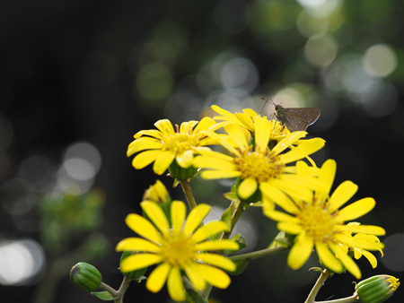 ツワブキの蜜を吸うイチモンジセセリ