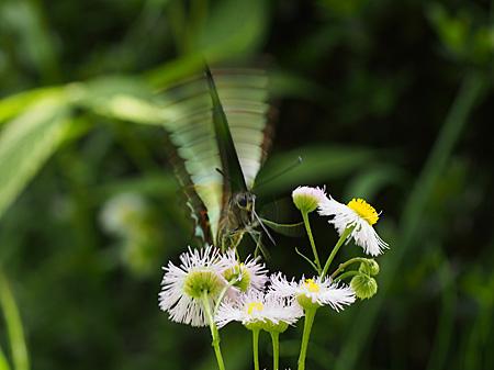 羽ばたくアオスジアゲハ(小石川植物園)