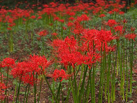 小石川植物園の彼岸花