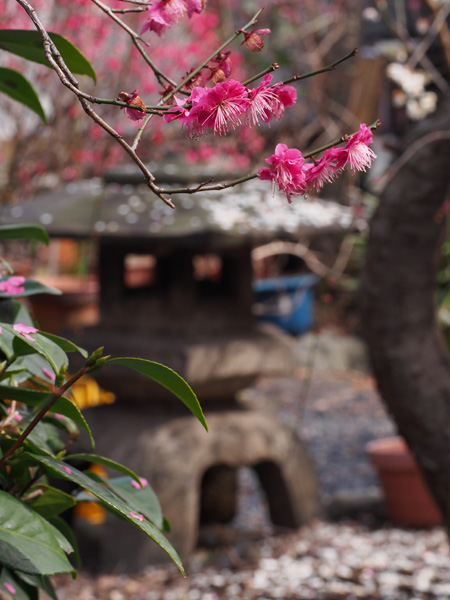 香取神社 香梅園の梅と雪見灯籠