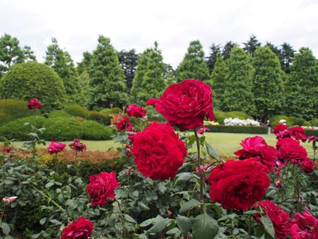 西洋庭園のバラ