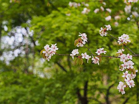 雑木林の山桜