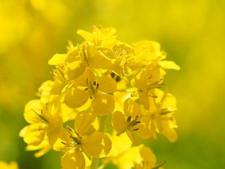 浜離宮の菜乃花