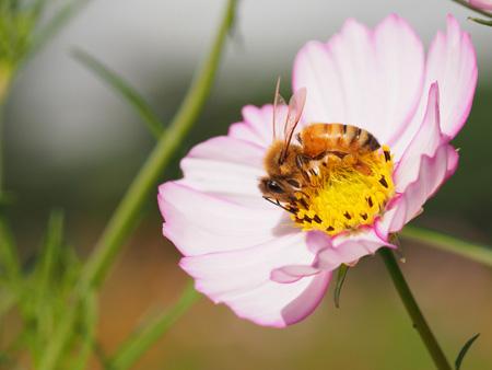 コスモスの蜜を集めるミツバチ