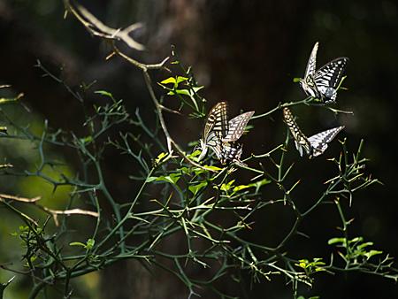 産卵するナミアゲハ