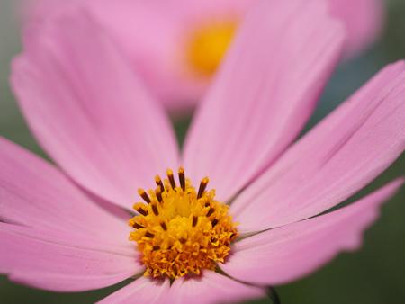 秋のコスモスらしいピンクの花をアップで