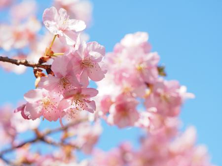 新宿御苑の河津桜