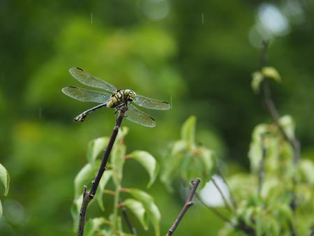小雨の中、梅の木に止まるウチワヤンマ