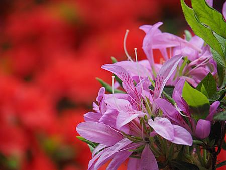 小石川植物園のツツジ