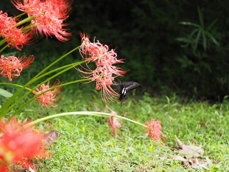 彼岸花に飛来したモンキアゲハ