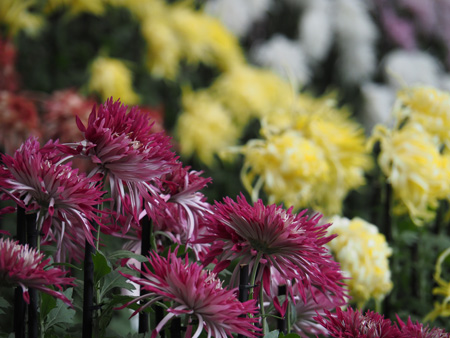 菊花壇の菊