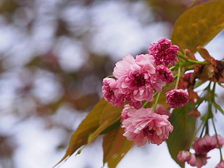 プラタナス並木付近の梅護寺数珠掛桜(バイゴジジュズカケザクラ)
