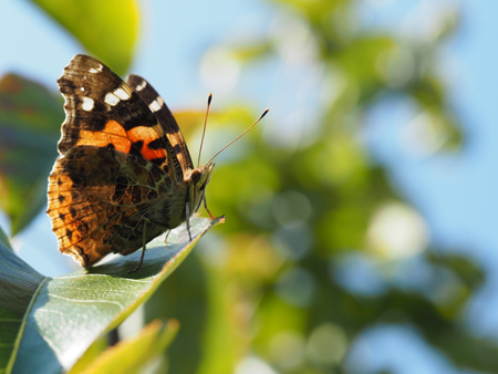 梨の葉で翅を休めるアカタテハ