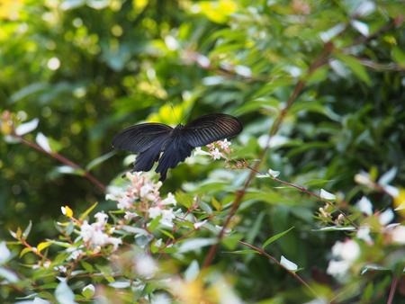 アベリアの花に飛来したクロアゲハ