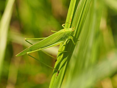 草むらに潜むツユムシ