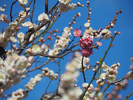 芝離宮 梅林の梅
