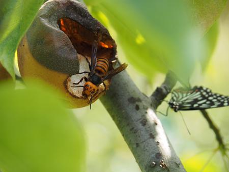 スズメバチに阻まれ蜜が吸えない
