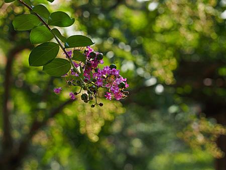 皇居二の丸庭園のサルスベリ