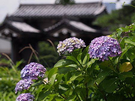 紫陽花と北桔橋門