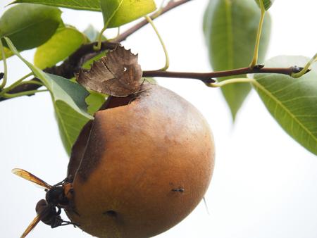 梨の蜜を吸うが、すぐにスズメバチに追われる