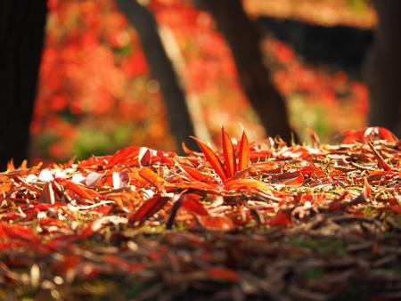 ハゼノキの落ち葉