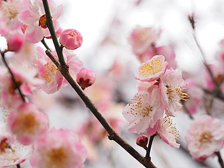 小村井香取神社 香梅園の梅