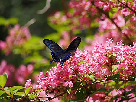 翅を開くカラスアゲハ(小石川植物園)