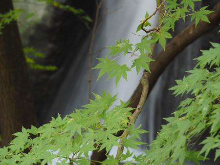 暗い滝の上のモミジは、まだ緑だ。